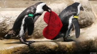 An African Penguin holds a Valentine's Day card