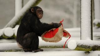 A Chimpanzee holds a heart-shaped bag