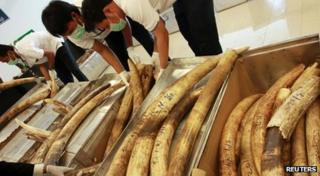 Workers looking at elephant tusks