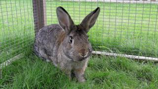 A browny grey rabbit