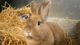 Ginger and brown bunny rabbit