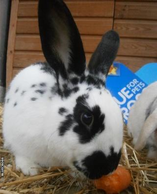 Black and white spotty rabbit eating a carrot