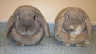 A grey rabbit and a brown rabbit