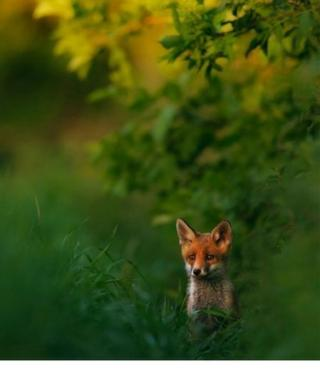 A fox peaking out behind a green and yellow bush