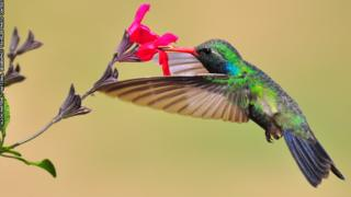 Colourful hummingbird sips nectar from a flower