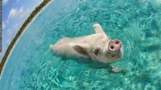 Pig takes a swim in the Bahamas