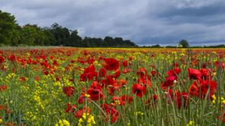 A field of yellow rape seed oil plants and red poppies. Behind is a line of trees and a grey cloudy sky above.