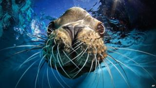 sealion looking into a camera