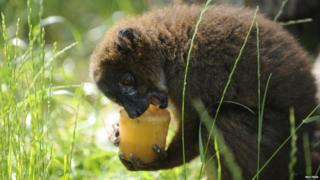 A red-bellied Lemur licks a vegetable ice lolly