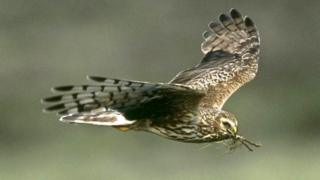 Hen harrier in flight