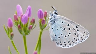 Large blue butterfly / Ross Hoddinott / 2020VISION