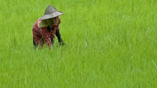A Myanmar farmer works in a paddy field