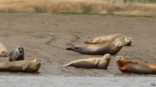 Seals by the River Thames