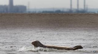seal swims in River Thames