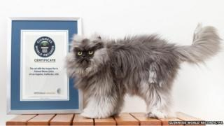 Cat with long fur next to a certificate