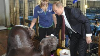 Vladimir Putin shaking hands with a walrus