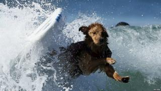Dog falls of surf board