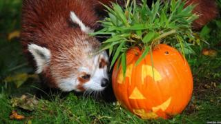 A red panda looking at a carved pumpkin