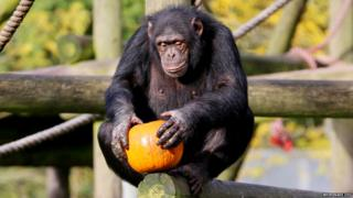 Chimpanzee with pumpkin