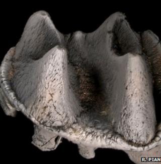 Giant platypus tooth