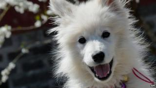 A Samoyed puppy