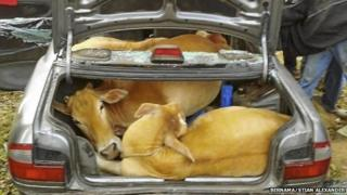 Cows found in car