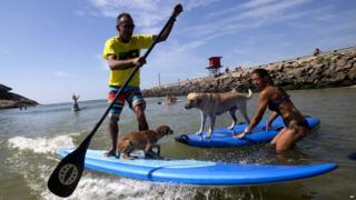 Dogs and their owners on paddleboards