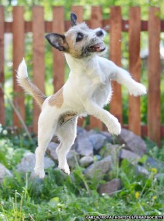A dog leaping in the air