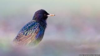A photo of a starling.