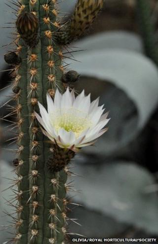 A cactus in bloom