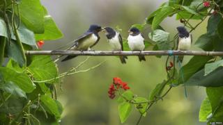 Swallows on a branch