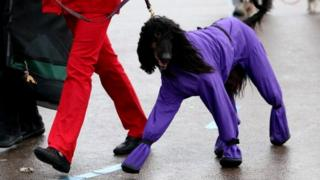 Dog in a purple coat