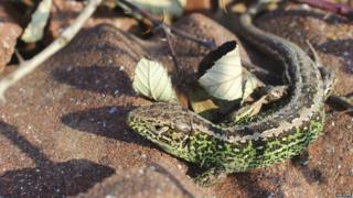 Sand lizard in mating colours
