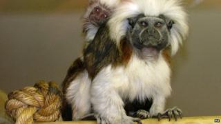 Two of the tamarin monkeys that were stolen