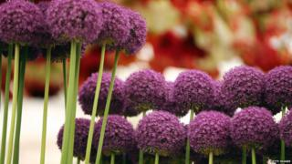 Purple Allium are on display in the Chelsea Flower Show