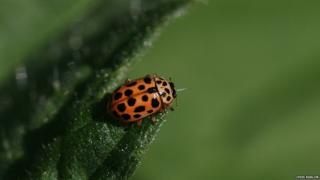 Water ladybird by Chris Barlow
