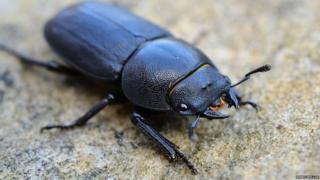 Female stag beetle by Kerry Mellor
