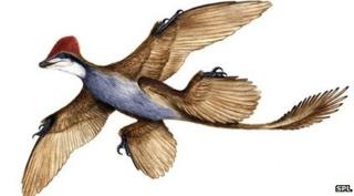 Microraptor gui - another ancient four-winged species