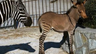 A hybrid of a zebra and a donkey stands with mother