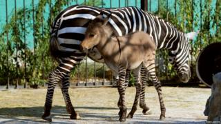 A hybrid of a zebra and a donkey plays with his mother