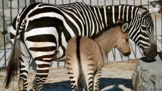 A hybrid of a zebra and a donkey with his mother