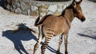 A hybrid of zebra and a donkey stands at a zoo