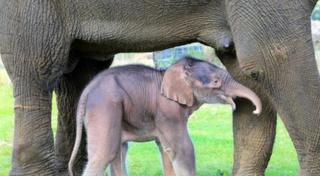Baby Elephant born At Woburn safari Park with its mother