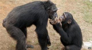Chimp Haven in LA in the USA for rescued chimps