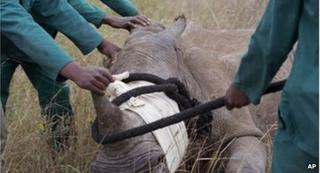 A white rhino is rescued in South Africa after its partner was killed by poachers.