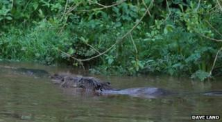 beavers in the River Otter