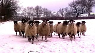 Beth's sheep in the snow