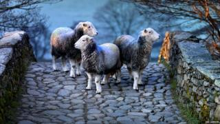Herdwick sheep on bridge
