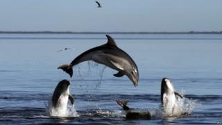"A new species of dolphins in Victoria""s Port Phillip Bay, Australia."