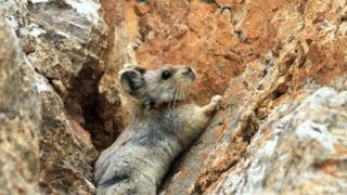 The Ili Pika in China
